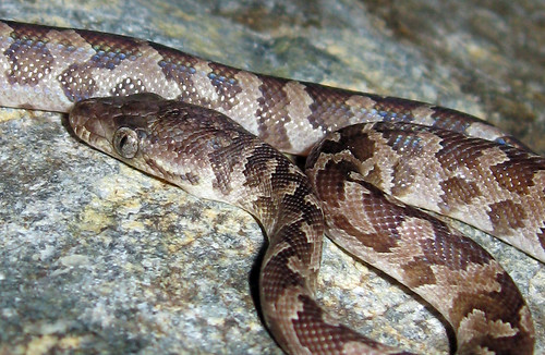 epicrates monensis granti  - The endemic Virgin Islands boa