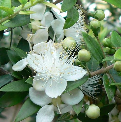 Flor del mirto