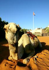 The Constant (Abdullateef Al Marzouqi) Tags: sky heritage sand nikon flag uae sigma camel abudhabi 1020mm constant funnypose blueribbonwinner shipofthedesert desertanimal arabheritage laati