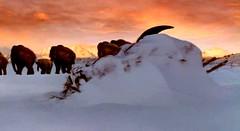 34 dead bison