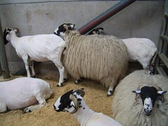 lots more sheep