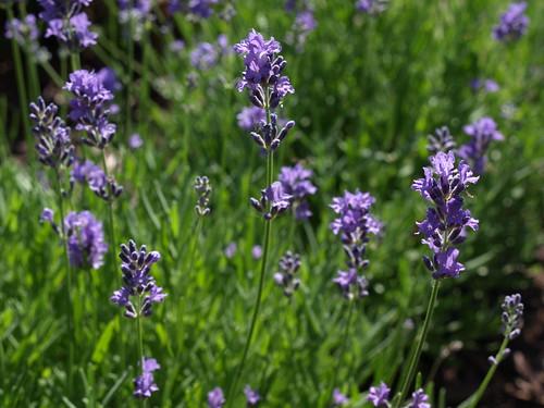 Lavender from My Backyard Garden