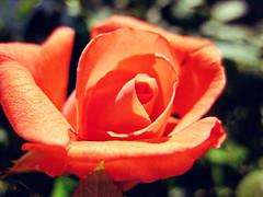 Tropicana Rose