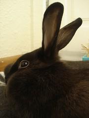 plush koko-style (ildarabbit) Tags: black rabbit bunny fur relax furry floor plush lazy lie playtime dewlap