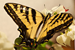 swallowtail (Dean of Photography) Tags: butterfly hero winner thumbsup swallowtail photofaceoffwinner pfogold herowinner