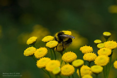 Bumblebee with bokeh