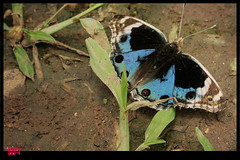 .,::'  butterfly (S.F.A.A) Tags: blue butterfly