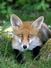 Urban fox cub