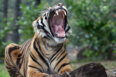 Really makes me wanna sleep a lot (mion.nl) Tags: tiger yawn tigers slaap gaap impressedbeauty mionnl