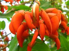 red shrimp tree - Suinã - corticeira da serra - Bico de papagaio- nozzle parrot - Sapatinho de judeu - jew shoes tree -  flowers (Erithrina falcata) MOCOCA  Brazil (mauroguanandi) Tags: red brazil erythrina fabaceae bicodepapagaio sapatinhodejudeu erithrina erythrinafalcata suinã mimamorflores auniverseofflowers jewshoes redshrimptrees macawmoth erithrinafalcata