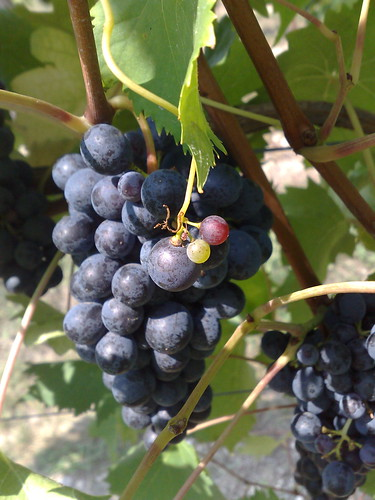 grapes, selva capuzza, italy