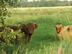 Schotse hooglander (Marike Hazenberg) Tags: water groen pad natuur nat gans groningen avond lopen dieren kale piet piraat eend touw weg koeien voeten tuur zwanen blote opende horens