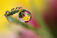 Nice dew this morning :) #4 (Lord V) Tags: flower macro water dewdrop refraction blueribbonwinner supershot abigfave platinumphoto goldstaraward alemdagqualityonlyclub alemdaggoldenaward
