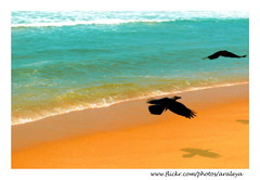 Follow Me (Araleya) Tags: leica trip travel vacation india color bird beach colors animal relax flying colorful asia waves vivid peaceful happiness kerala panasonic crow southindia followme feelgood fz50 arabiansea seawater beautifullife goldensand beautfiul araleya leicadigital somatheeram diamondclassphotographer flickrdiamond theperfectphotographer beautfiullife beautfiulmoment