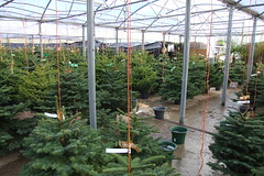 Priory Farm Christmas Tree Land #2