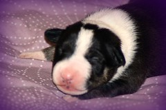 8 + half days (baldybikerboy) Tags: blackandwhite dog pet baby cute puppy babies blind sleepy bitch newborn cuddly lovely bully picnik bullies snoozy englishbullterriers babybullterrier babyenglishbullterrier babybully