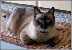 Jazz (Gabbcan) Tags: cat kitten kat chat siamese gatos gato tonkinese siames gatto katzen gatti gatinho   siamesische jazzthecat bestofcats blueeyes ojosazules siamesibeautifulcat kotkatt gardencats