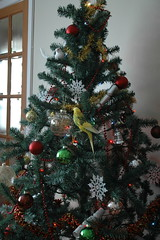 DSC_5719 (abayliss) Tags: fry christmastree budgerigar budgie