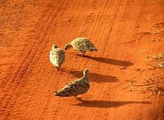 Black-faced Sandgrouse (sandlings) Tags: africa birds tanzania kenya ngorongoro serengeti mombasa tsavo tarangire diani eastafrica sandgrouse blackfacedsandgrouse