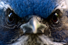 Bird Eyes (marctonysmith) Tags: california bird nature closeup la losangeles intense eyes beak olympus 70300mm 2008 zuiko scrubjay photoshop70 e510 westernscrubjay aphelocomacalifornica zd explore26 gisuggested