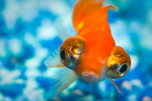 blue orange fish macro water glass aquarium eyes rocks goldfish lips lippy fins gravel img6997
