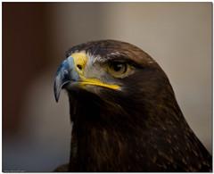 Aquila reale #2 (Andrea Rapisarda) Tags: nature eagle platinumphoto nikond40 theunforgettablepictures andrearapisarda