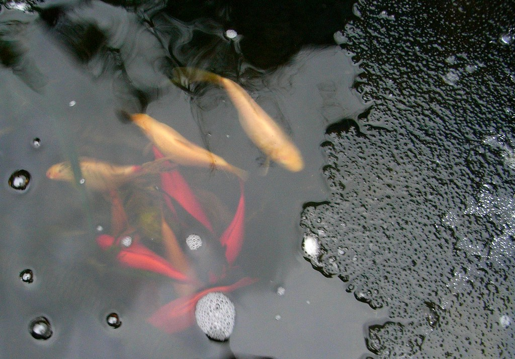 Cold gold fish