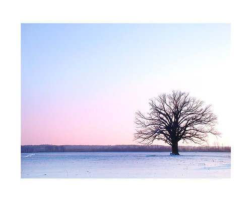 Bur Oak - winter