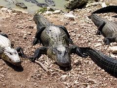 The Everglades, Florida - USA (Mic V.) Tags: usa nature animal america florida reptile farm united alligator aligator american everglades crocodilian states aligators floride amrique mississippiensis amerique cocodri rptile crocodril crocodilien