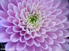 purple mum (bluehazyjunem) Tags: pink winter purple mum 2009 picnik platinumheartaward
