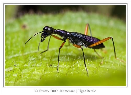 2.12 Tiger Beetle ... 長頸虎甲蟲 Neocollyris lformasana