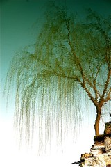 weeping (Ian Riley) Tags: china distortion reflection tree water reflections geotagged pond willow ripples hebei inverted weeping baoding salix babylonica flection geo:lat=3887468 geo:lon=115532387