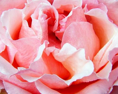 Gazebo Rose~ Pink Macro