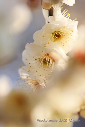 白梅は清楚なイメージ