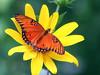 Gulf Fritillary 04 (TexasEagle) Tags: flowers orange nature butterfly butterflies insects canon350d canonrebel gulffritillary naturesfinest agraulisvanillae pfogold canonef70300mmf456isusmlens beautifulworldchallenges