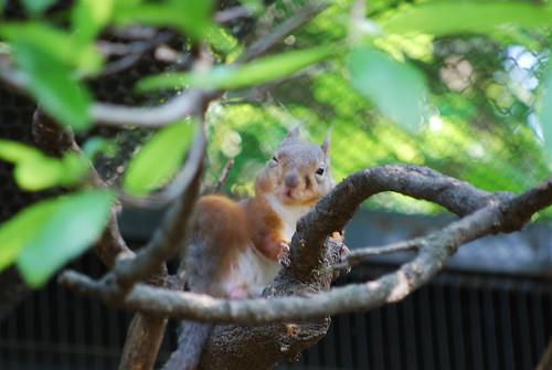 ウインクするニホンリス(winking Japanese Squirrel)