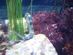 Seahorse and Sea Hare - Monterey Bay Aquarium (howsmystockdoing) Tags: coral aquarium shark monterey jellyfish seahorse nemo starfish montereybayaquarium crab shrimp clownfish carmel pebblebeach 17miledrive fishermanswharf pacificgrove tuna sponge seaotter morayeel pipefish bluetang asilomarbeach yellowtang losthills sevengablesinn innatspanishbay lonecypresstree soledadmission greengablesinn