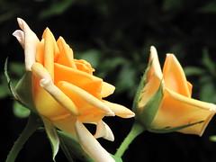 Roses, roses (Donna Will) Tags: light macro green rose canon virginia stem peach naturallight petal bloom thorns loudoun sooc palacerose canong10