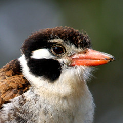 Joo-bobo, White-eared Puffbird (Nystalus chacuru) (claudio.marcio2) Tags: bird nature searchthebest wildlife natureza pssaro aves birdwatching breathtaking oiseaux naturephotography wonderfulnature naturesfinest supershot wingedwonders natureplus mywinners shieldofexcellence anawesomeshot ultimateshot nationalgeographicareyougoodenough crystalaward photosandcalendar citritgroup ysplix prettynaturephotos theunforgettablepictures theunforgettablepicture eperkeaward brilliant~eye~jewels naturewatcher macromix concordians theworldsbestnaturewildlifeandmacrophotography betterthangood everydayissunday theperfectphotographer goldstaraward crazyaboutnature naturestreasure spiritofphotography salveanatureza photosofqualitytosmileabout damniwishidtakenthat allthosebirds worldnaturewildlifecloseup photographersgonewild favoritespictures thewonderfulworldofbirds naturegreenstar naturescreations ~newenvyofflickr~ dragonflyawardsgroup animalflowerscloseups