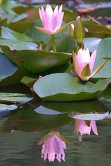 lily pond reflections