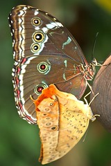 Two Butterflies (mclcbooks) Tags: nature beautiful butterfly niceshot shiningstar macrogroup musictomyeyes aphoto naturegroup awesomeshot naturalmacros coolshot top20butterflymoth hiddentreasure closerandclosermacrophotography saremofamosi butterfliesandflowers contactgroup mywinners abigfave theworldupclose butterflybeauty nationalgeographicareyougoodenough flickrawards flickrbronzeaward freenature naturephotoshp heartawards eperkeaward goldstaraward naturestyle brilliantphotography crazyaboutnature macrolovers wonderfulworldofmacro flowersinsectsandbutterflies defendersnaturemacroandcloseup soulcapture screamofthephotographer loveitaward naturespotofgold worldnatureandwildlifecloseup enarmoniaconlanaturaleza 100commentgroup grouptripod doubledragonaward natureisallallisnature thedailypost artofimages the3bsbeesbutterfliesbugs addictedtonature omundodosbichos lizasenchantingphotogarden ddsnetgroupformyfriends flickawards universeofnature lovetheworldofnature thebestofcengizandsqueezeme2groups butterfliesbeesflowersbugs flickrsgottalent mermaidawards goldenuniverse macroinstyle diamondnatureandstyle thebestofmacroinstyle redhotcapture natureskingdom fabulousplanetevo thenaturessoul betterthangoodlevel2 betterthangoodlevel1 floraandfaunaonly sackofphotosmothernature bestpeoplesgroup naturesancturary