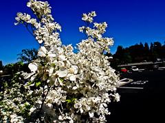 Ravi_20110426DSC02683 (suryakantan) Tags: california nature stanfordshoppingcenter natuer