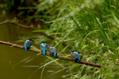 A Line Of Kingfishers (Chris McLoughlin) Tags: nature kingfisher sigma150mm500mm chrismcloughlin sonyalpaa300