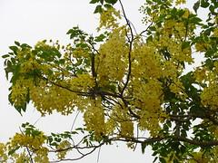 yellow riot (vakrathundam2000) Tags: kanikonna sarakondrai bandarlathi