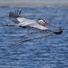 Great Blue Heron in Flight (Patricia Ware) Tags: california handheld birdsinflight huntingtonbeach greatblueheron bolsachica ardeaherodias supershot nestingmaterial specanimal avianexcellence coth5 blinkagain bestofblinkwinners