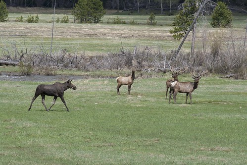 moose-and-elk_3