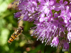 """Hoverfly & flower • <a style=""""font-size:0.8em;"""" href=""""http://www.flickr.com/photos/61957374@N08/5850343682/"""" target=""""_blank"""">View on Flickr</a>"""