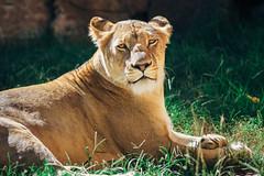 IMG_1887 (SwiftTheFox) Tags: cats cat canon lion 300mm bigcat lions 5d lioness bigcats 300mmf4 300mmf4l canonef300mmf4lusm canon5dmkii 5dmarkii 5dmkii 5dmk2 canon5dmarkii