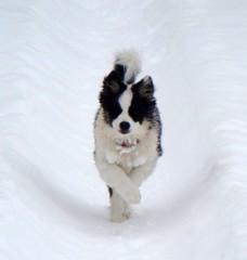 Zoom zoom zoom! (LisaNH) Tags: snow puppy sheepdog tracks explore hb1 icelandic i500