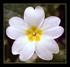 Primrose (bonksie61) Tags: flower primrose smrgsbord mywinners theperfectphotographer